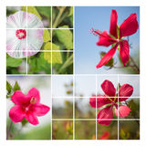 Hisbiscus flower collage Stock Photos