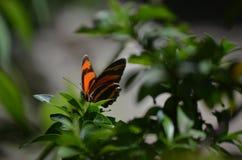 Hisnande apelsin och svart ek Tiger Butterfly Royaltyfria Bilder
