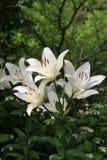 Hisnande bild av rena vita Tiger Lilies Arkivbild