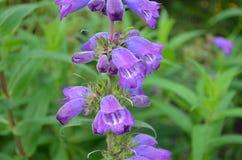 Hisnande foto av växa för lös blomma i ö av Skye Royaltyfri Bild