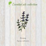 Hisopo, etiqueta del aceite esencial, planta aromática Fotografía de archivo libre de regalías