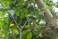 Hispada de ficus dans la forêt Image libre de droits