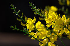 Hispanica do Genista Fotos de Stock