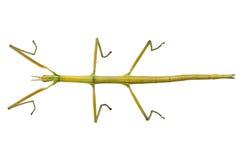 Hispanica español de Leptynia de la especie del insecto del bastón Fotografía de archivo libre de regalías