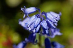 Hispanica espagnol de hyacinthoides de jacinthe des bois Image stock