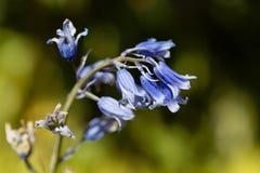 Hispanica espagnol de hyacinthoides de jacinthe des bois Image libre de droits