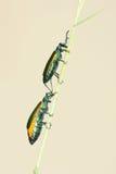 Hispanicae verdes dos muscae Foto de Stock Royalty Free