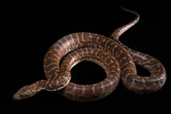 Hispaniolan boa, Chilabothrus or epicrates Stock Photo