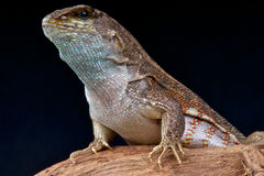Hispaniolan Curlytail Lizard Royalty Free Stock Photography