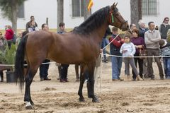 Hispano arabisk häst i en show royaltyfri foto