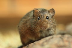 Hispid cotton rat Royalty Free Stock Photos