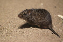Hispid cotton rat Royalty Free Stock Images