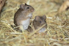 Hispid cotton rat Stock Photos
