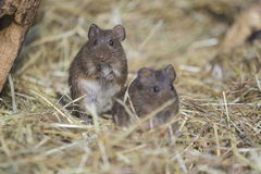 Hispid cotton rat. The pair of gazing hispid cotton rats Stock Photo