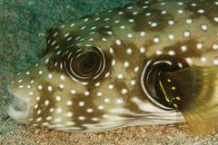 Hispidus Arothron - ψάρια καπνιστών Στοκ φωτογραφίες με δικαίωμα ελεύθερης χρήσης