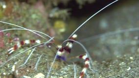 Hispidus unido de Stenopus do camarão do pugilista no coral no mar Dumaguete do tribo Zulu video estoque