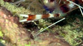 Hispidus unido de Stenopus do camarão do pugilista no coral do Mar Vermelho Sudão Shaab Rumi video estoque
