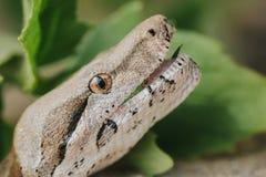 Hissalot preditor змейки горжетки Стоковые Изображения RF