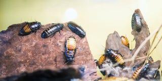 Hissing της Μαδαγασκάρης κατσαρίδες στοκ φωτογραφίες με δικαίωμα ελεύθερης χρήσης