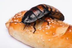 Hissing της Μαδαγασκάρης κατσαρίδα στο άσπρο υπόβαθρο Στοκ Εικόνα