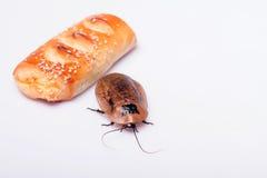 Hissing της Μαδαγασκάρης κατσαρίδα στο άσπρο υπόβαθρο Στοκ εικόνες με δικαίωμα ελεύθερης χρήσης