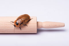 Hissing της Μαδαγασκάρης κατσαρίδα στο άσπρο υπόβαθρο Στοκ φωτογραφία με δικαίωμα ελεύθερης χρήσης