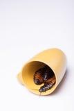 Hissing της Μαδαγασκάρης κατσαρίδα στο άσπρο υπόβαθρο Στοκ Φωτογραφίες