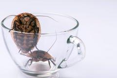 Hissing της Μαδαγασκάρης κατσαρίδα στο άσπρο υπόβαθρο Στοκ Εικόνες