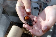 Hissing cockroach in hand. Boy holding a hissing Madagascar cockroach at a bug fair in California Royalty Free Stock Photography
