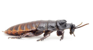 Hissing Cockroach Royalty Free Stock Image
