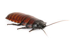 Hissing Cockroach Stock Image