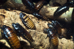 Free Hissing Cockroaches Royalty Free Stock Photography - 36684227