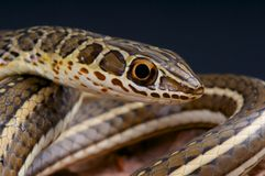 Hissing Sand Snake / Psammophis sibilans Royalty Free Stock Photo