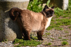 Hissing siamese brown cat by the sun Stock Image