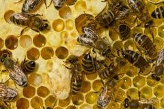 História da vida do verão das abelhas Imagem de Stock