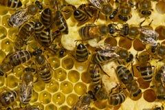 História da vida do verão das abelhas Fotos de Stock