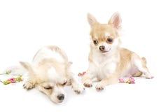 História de amor, par de filhotes de cachorro da chihuahua com rosas Fotos de Stock