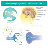 Histaminergic  system in the human brain. Histamine Illustration. Antihistamines are drugs which treat allergic rhinitis and other allergies. Affects the Royalty Free Stock Images