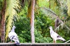 Histoire d'amour de pigeons Image stock
