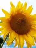 Histoire d'amour entre une abeille et un tournesol Images libres de droits