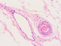 Histologie de tissu humain Photos stock