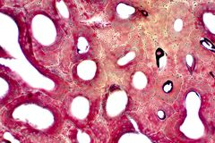Histology of human compact bone tissue under microscope view for education. Muscle bone connection and connective tissue royalty free stock images