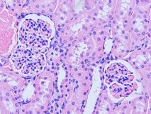 Histology of human tissue Royalty Free Stock Images