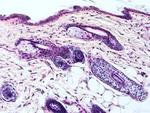 Histology of human tissue. Show epithelium cell, connective tissue and muscle tissue with microscope view Stock Photo
