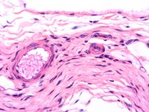 Histology of human tissue. Show epithelium cell, connective tissue and muscle tissue with microscope view Royalty Free Stock Photos