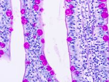 Histology of human tissue. Show epithelium cell, connective tissue and muscle tissue with microscope view Stock Photos