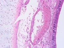 Histology of human tissue. Show epithelium cell, connective tissue and muscle tissue with microscope view Stock Images