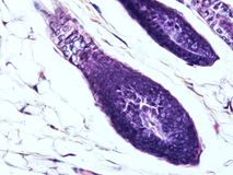Histology of human tissue. Show epithelium cell, connective tissue and muscle tissue with microscope view Royalty Free Stock Photo