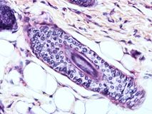Histology of human tissue. Show epithelium cell, connective tissue and muscle tissue with microscope view Royalty Free Stock Images