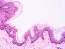 Histology of human tissue Stock Photo
